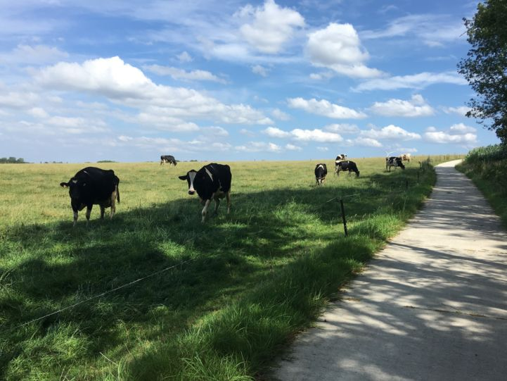 Cows grassing close to Ciney in Belgium