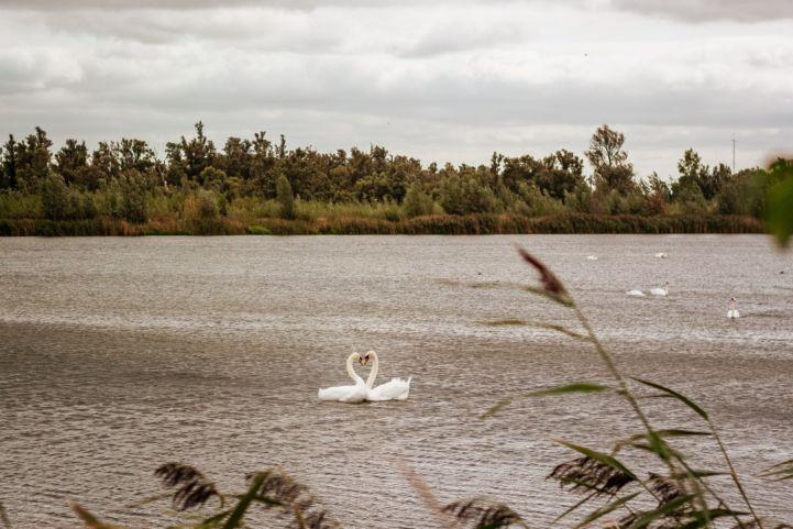 Cygnes dans le Parc national de Biesbosch, Pays-Bas